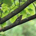 キビタキ幼鳥 FK3A4609