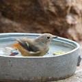 ジョウビタキ♀水浴び(2)FK3A1240