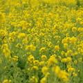 菜の花(2)FK3A1836