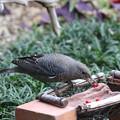 イソヒヨドリ♀(1)当初はお庭で食事 FK3A9822