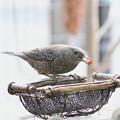 イソヒヨドリ♀(3)サンルーム外の上部で食事  FK3A2824