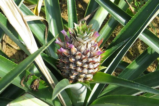 パイナップルの花(2)IMG_5543 by ふうさん