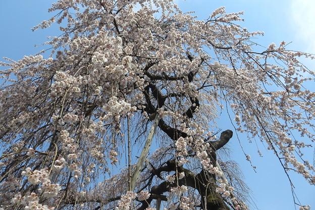 若樫の枝垂れ桜(2)IMG_5587