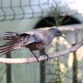 イソヒヨドリ若鳥♂(6)FK3A6566