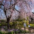 農場の桜・01