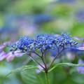 写真: 紫陽花・01