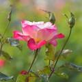 薔薇「ダブル・ディライト」