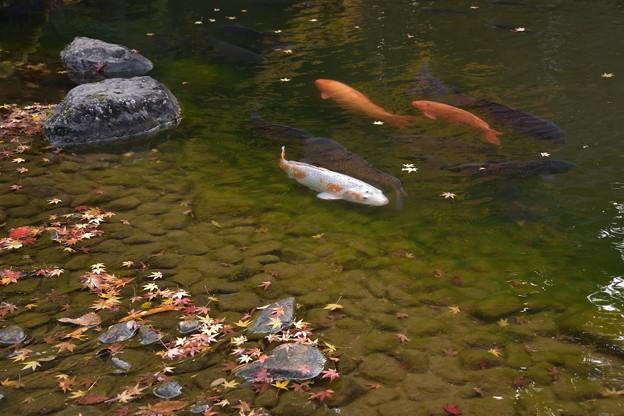 龍智の池の錦鯉