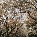 Photos: 花盛りから零れ桜へ