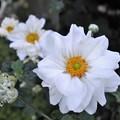 写真: 八重咲きシュウメイギク♪