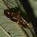 モンキクロノメイガ 日本亜種