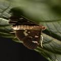 モンキクロノメイガ 日本亜種  2