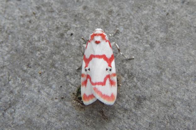 写真: DSCN6156 アカスジシロコケガ伊豆諸島以外亜種♂