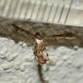 Photos: ブドウトリバ Nippoptilia vitis ?-3