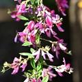 萩の花-2