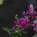 萩の花-3