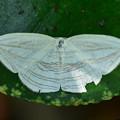 ギンツバメAcropteris iphiata -1