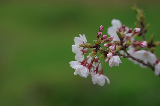 Photos: 咲き悪し