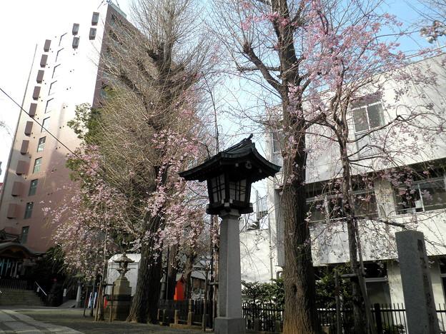 池尻稲荷神社-桜-05