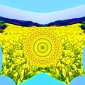 写真: 菜の花-02c