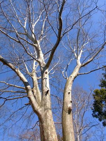 林試の森公園_裸木(モミジバスズカケノキ)-02