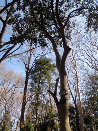 林試の森公園_ナナメノキ-01