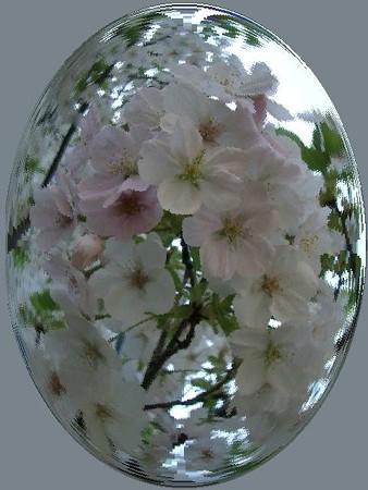 花のしずく_さくら-01