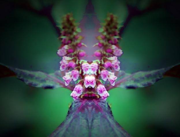紫蘇の花-01c