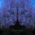 枝垂桜-02d