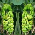 写真: バナナ-01