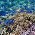 写真: サンゴ