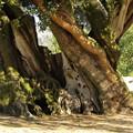 写真: 樹齢千年の樹