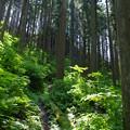 写真: 杉木立
