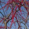 越生梅林の梅