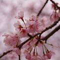 菅谷館跡の桜