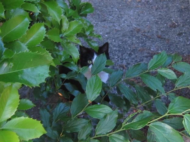 _140518 020 非対称黒白鉢割れ猫