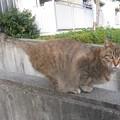 写真: _151203 033 人懐っこいトラ猫