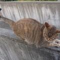 写真: _151203 036 人懐っこいトラ猫