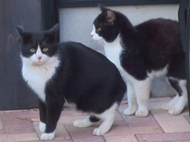 _180213 333 黒白はちわれ猫