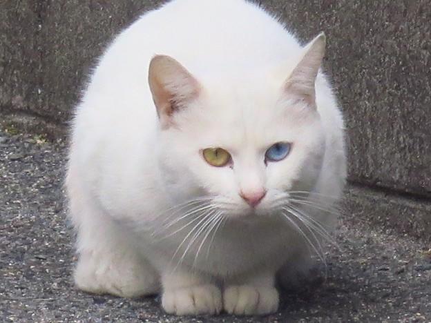 _180226 018 オッドアイ白猫