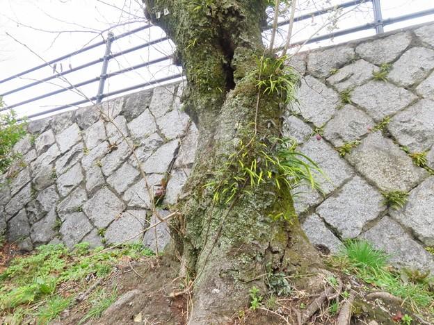 _180309 041 苔むした桜の木