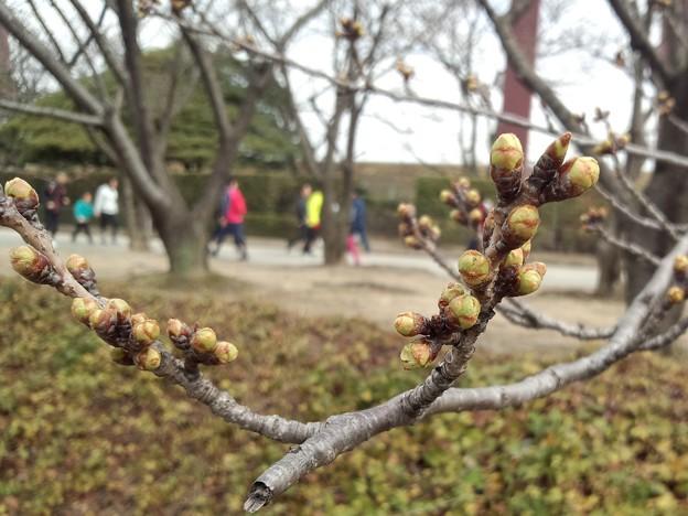 180319 001 福山マラソン 桜の新芽
