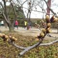 Photos: 180319 001 福山マラソン 桜の新芽