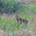 Photos: _180427 022 夕暮れの原っぱと猫
