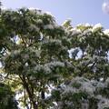 写真: ナンジャモンジャ(ヒトツバタゴ)PENTAX OPTIO W60 5438