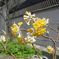 Photos: ミツマタCANON IXY 810IS 6619