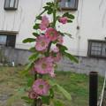 Photos: タチアオイCANON IXY 810IS 6473