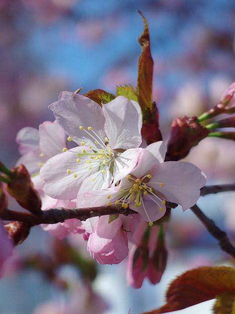 桜その11