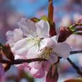 Photos: 桜その11