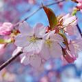 桜その12